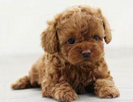 纯种泰迪幼犬