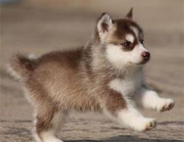 纯种哈士奇幼犬