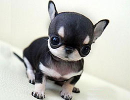 纯种吉娃娃幼犬
