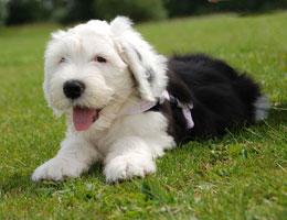 纯种古代牧羊犬幼犬