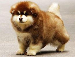 纯种阿拉斯加幼犬