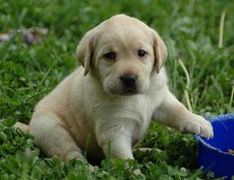 纯种拉布拉多幼犬
