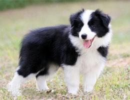 纯种边境牧羊犬幼犬