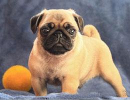纯种巴哥犬幼犬