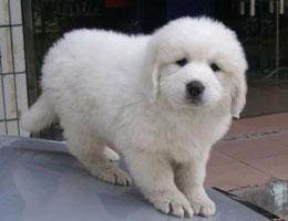纯种大白熊幼犬