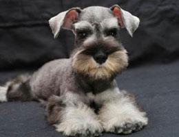 纯种雪纳瑞幼犬