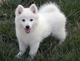 纯种银狐犬幼犬