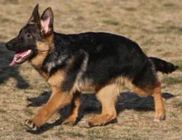 纯种德国牧羊犬图片
