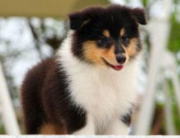 纯种苏格兰牧羊犬幼犬