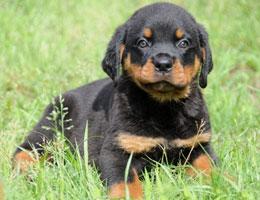 纯种罗威纳幼犬