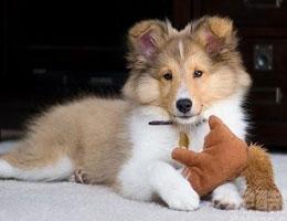 纯种喜乐蒂幼犬