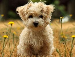 纯种西高地幼犬