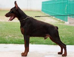 纯种杜宾犬幼犬