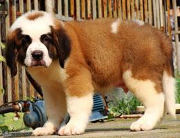 纯种圣伯纳犬幼犬