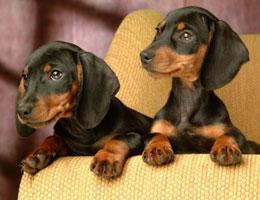 纯种腊肠犬幼犬