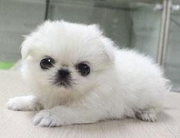 纯种京巴狗幼犬