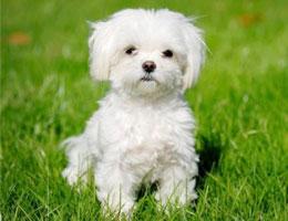 纯种马尔济斯幼犬