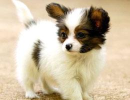 纯种蝴蝶犬幼犬