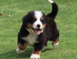纯种伯恩山幼犬