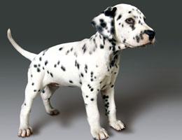 纯种斑点狗幼犬