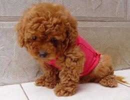 纯种贵宾犬幼犬