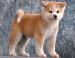 纯种秋田幼犬