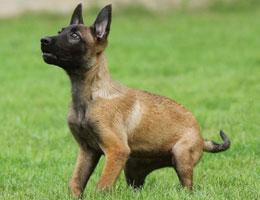 纯种马犬幼犬