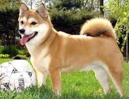 纯种柴犬幼犬