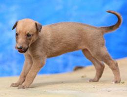 纯种格力犬幼犬