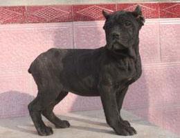 纯种卡斯罗犬幼犬