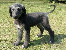 纯种阿富汗猎犬幼犬