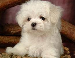 纯种西施犬幼犬