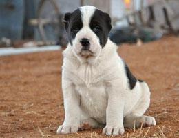 纯种中亚牧羊犬幼犬