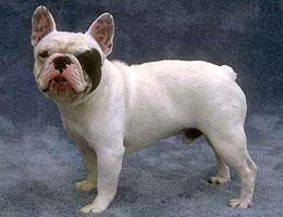 纯种法国斗牛犬幼犬