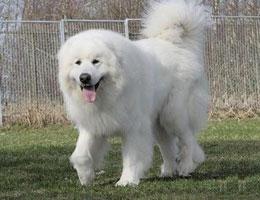 大白熊犬高清图片