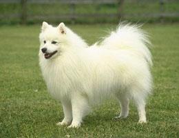 银狐犬高清图片