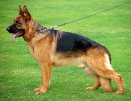德国牧羊犬高清图片