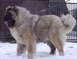 高加索犬高清图片