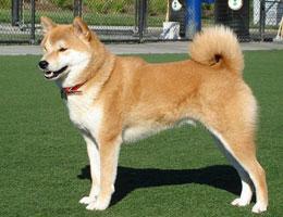 秋田犬高清图片