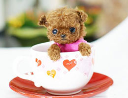 茶杯犬高清图片