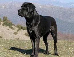 【卡斯罗犬价格】纯种卡斯罗犬多少钱一只(全国报价)