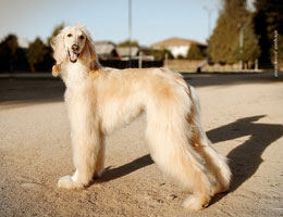阿富汗猎犬
