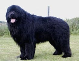 【纽芬兰犬价格】纯种纽芬兰犬多少钱一只(全国报价)