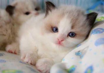 纯种布偶猫幼猫