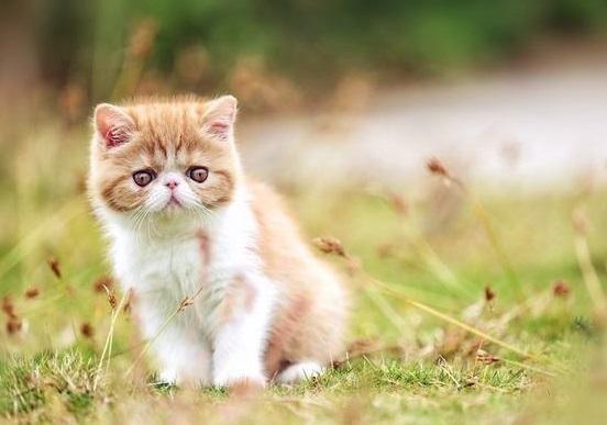 纯种加菲猫幼猫