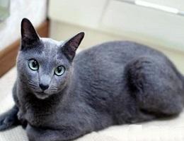 纯种蓝猫幼猫
