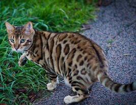 纯种豹猫幼猫
