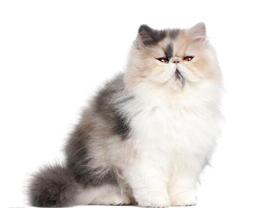 纯种波斯猫幼猫