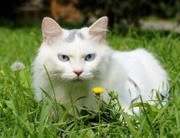 纯种中华田园猫幼猫