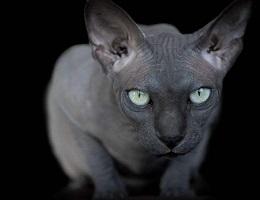 纯种无毛猫幼猫